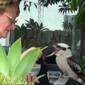 Kokabura eteti a fiókáit