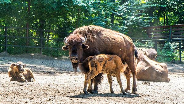 amerikai bölényborjú Nyíregyházán